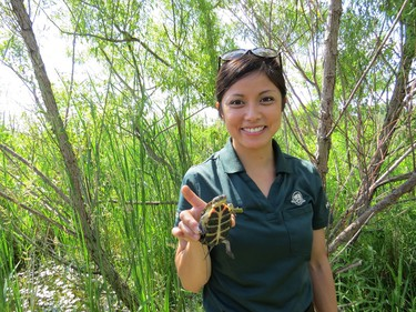 Toronto Zoo official holds baby Blanding's turtle on June 23, 2015 at future Rouge National Urban Park (SUPPLY).