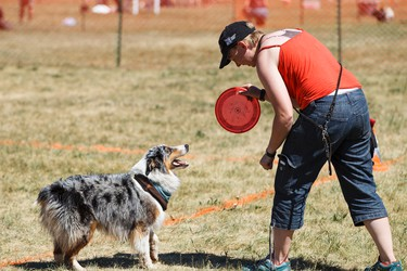 Kristen McKenna competes with Crash, a miniature Australian shepherd, in the Alberta Redneck Furry Fliers ring during the Edmonton Humane Society's Pets In The Park at Hawrelak Park in Edmonton, Alta., on Sunday June 28, 2015. The event is a fundraiser for the shelter and is the only time of the year that pets are allowed in Hawrelak Park. Ian Kucerak/Edmonton Sun/Postmedia Network