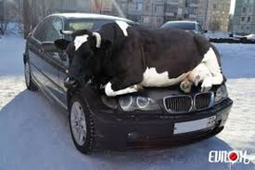 This photo-shopped image of a bull on top of a car was sent out by MRC des Collines with a release that described how four cows damaged a Quebec couple's BMW. Submitted photo