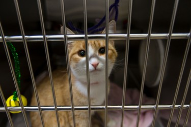 A cat is seen at the Edmonton Humane Society in Edmonton, Alta., on Thursday July 16, 2015. The society is the first shelter in western Canada to join the Million Cat Challenge, which uses practical solutions to reduce euthanasia, increase live outcomes and ensure humane care for shelter cats. Ian Kucerak/Edmonton Sun/Postmedia Network