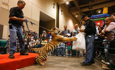 Thor - a six-month old Siberian Tiger - part pif a display by Tiger Paw Exotics played and showed off as Toronto area Muslims celebrated Eid al-Fitr Festival at the the Metro Toronto Convention Centre on Friday July 17, 2015 . Jack Boland/Toronto Sun/Postmedia Network
