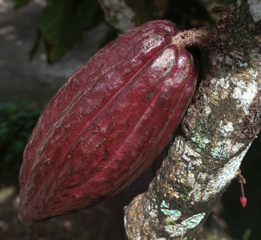The organic chocolate making process begins with picking the cocoa pod on Sunday July 5, 2015, on the Island of St. Lucia. (Veronica Henri/Toronto Sun/Postmedia Network)