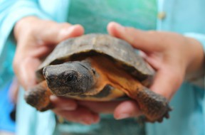 The wood turtle is considered an endangered species. There are only five populations in Ontario and there location is kept secret by researchers to prevent poaching. (Laura Broadley/Clinton News Record)
