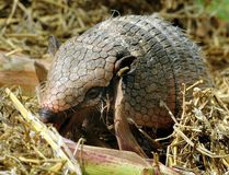 File photo of an armadillo. AFP PHOTO / HOLGER HOLLEMANN