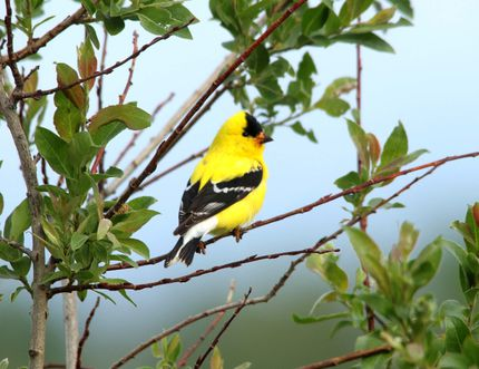 Is this a goldfinch or a canary? There's an app to help you identify birds. (Postmedia Network)