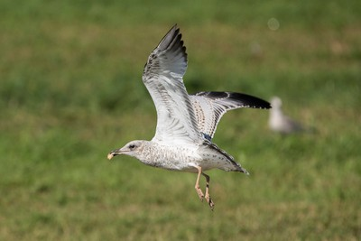 A seagull eats leftover food during cleanup after Big Valley Jamboree 2015 in Camrose, Alta. on Monday August 3, 2015. Ian Kucerak/Edmonton Sun/Postmedia Network