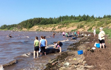 Residents attempt to help beached whales that that became stuck on the shores of St. George's Bay in Judique, N.S., on Tuesday, August 4, 2015. A resident of a small community on Cape Breton's west coast says about 25 people rallied to try and save 16 beached pilot whales today after they became stuck on the rocky shores of St. George's Bay. Linden MacIntyre, a former journalist who lives about a kilometre from the bay in Judique, N.S., says he believes the whales were beached early Tuesday morning as the tide went out. THE CANADIAN PRESS/HO - Linden MacIntyre