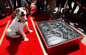"""The dog Uggie, featured in the film """"The Artist"""", is pictured after leaving his paw prints in cement in the forecourt of the Grauman's Chinese theatre in Hollywood, California June 25, 2012.  REUTERS/Mario Anzuoni"""