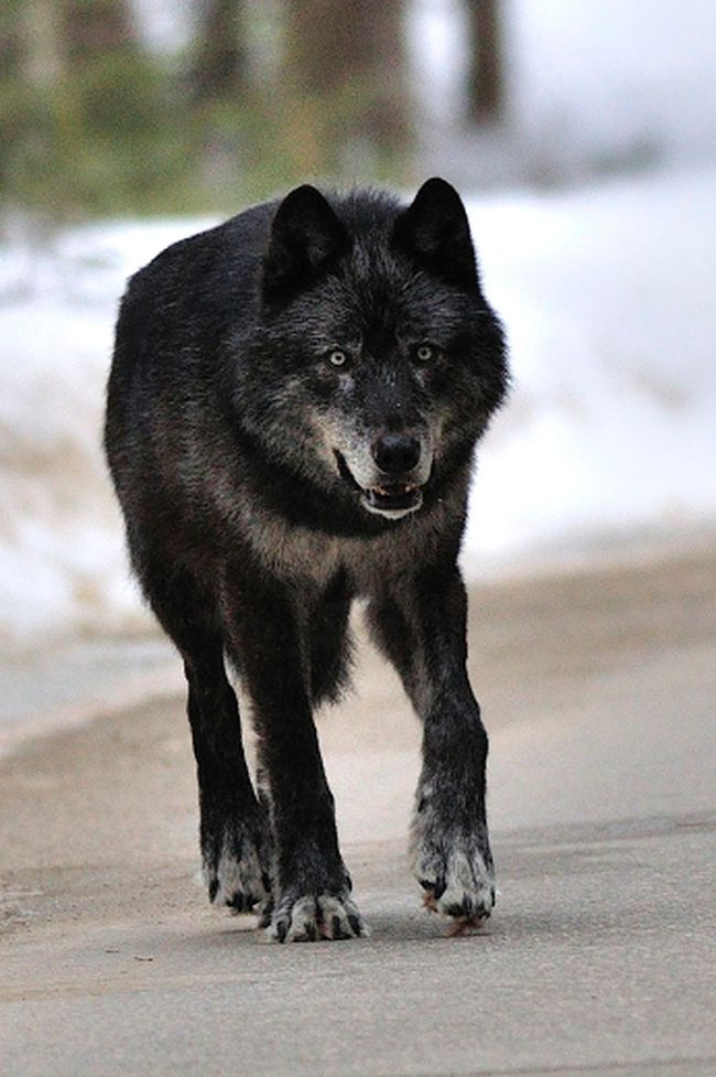 A wolf spotted walking outside the Banff townsite in 2010. (File photo)