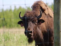 A wood bison peers through the fences of Syncrude's Beaver Creek Wood Bison ranch, located north of Fort McMurray, Alta. Vincent McDermott/Today Staff