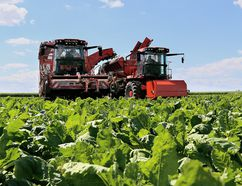 Sugar beet harvest is in full swing with members of the Michigan Sugar Company co-op using a lottery to decide who will get the opportunity to get their beets off the field early in Chatham, Ont. on Monday August 24, 2015. (Diana Martin/Chatham Daily News/Postmedia Network)