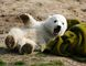 File photo of polar bear cub Knut playing with a blanket during the bear's first presentation in Berlin zoo, March 23, 2007. (REUTERS/Arnd Wiegmann/Files)