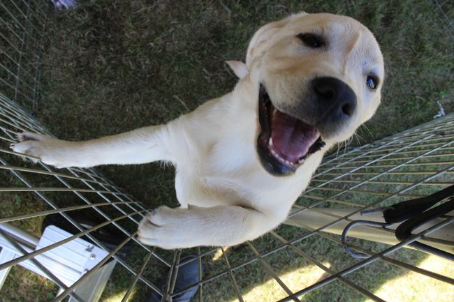 <p>Yellow Labrador pup Lucy stands up for a closer look during the Farran Dog Show at Farran Park  on Friday September 4, 2015 in Ingleside, Ont. Greg Peerenboom/Cornwall Standard-Freeholder/Postmedia Network