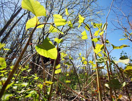 Japanese knotweed is known to slice right through cement. FILE PHOTO, POSTMEDIA NETWORK