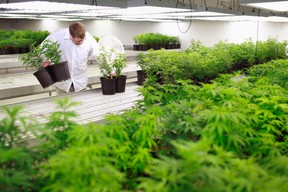 Production Assistant Dan Brennan collects marijuana plant clones to be moved into a growing room at Tweed Marijuana Inc in Smith's Falls, Ontario, in this file photo from February 20, 2014.  REUTERS/Blair Gable/Files