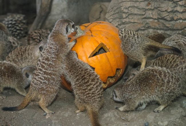 Animals At The Calgary Zoo Celebrate Halloween By Feasting