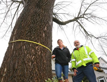 John Howard, manager of parks and open spaces for Owen Sound, left, and horticulturist Michelle Draper measure the circumference of a huge ash tree on 4th St. E. on Friday in Owen Sound, Ont. The ash tree is estimated to be between 90-100 years old and is one of the many significant trees identified in the Owen Sound Municipal Tree Inventory that was recently completed by Draper for the city. James Masters/The Owen Sound Sun Times/Postmedia Network