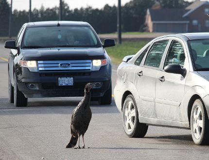 This wild turkey has been attracting stares from several motorists near the intersection of Pioneer Line and Prince Albert Road, just outside of Chatham, Ont. The turkey, pictured here on Sunday November 29, 2015, has been in the area for the past three days seemingly unafraid of vehicles or humans. Ellwood Shreve/Chatham Daily News/Postmedia Network