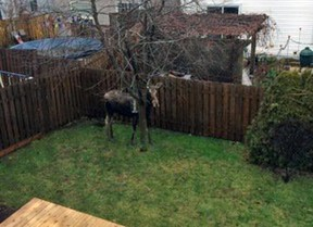 A young female moose stands in the backyard of an Orleans home on Tuesday morning, Dec. 15, 2015. The animal likely wandered in from neighbouring Mer Bleue. It was tranquilized and taken outside the city. (Submitted image NCC, Ottawa Sun / Postmedia Network)