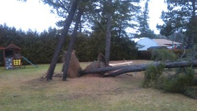 A Sudbury Star reader sent this photo of a tree knocked over by a wind storm on Thursday.