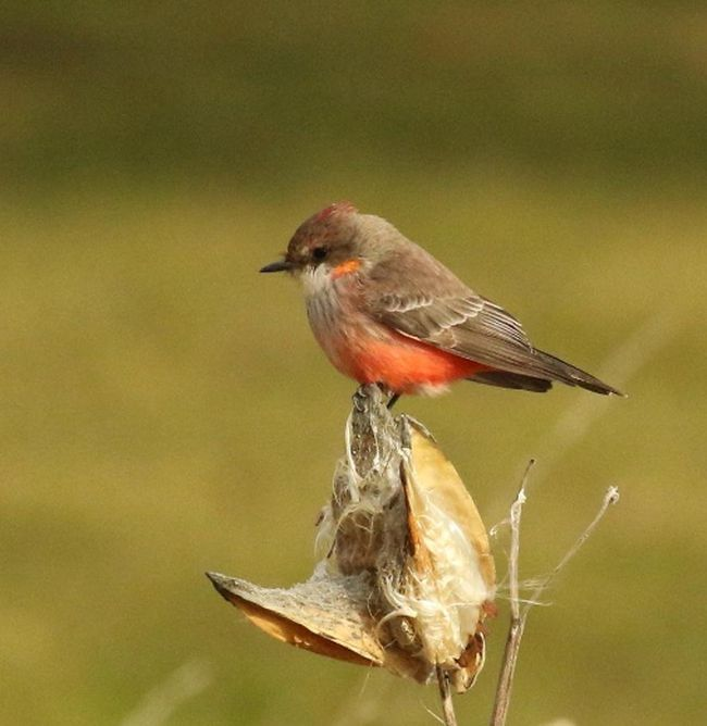 This vermilion flycatcher, which spent the last half of December in Kent County, was included on the Wallaceburg Christmas Bird Count. This is the first time the species has been seen on any Canadian Christmas Bird Count. (RICHARD O'REILLY, Special to Postmedia News)