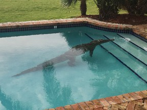 In this photo provided by the Monroe County Sheriff's Office, a crocodile swims in a privately owned pool in Islamorada, Fla., on Jan. 21, 2016. The Florida Fish and Wildlife Conservation Commission assisted in the removal of the crocodile. (Lieutenant David Carey/Monroe County Sheriff's Office via AP)