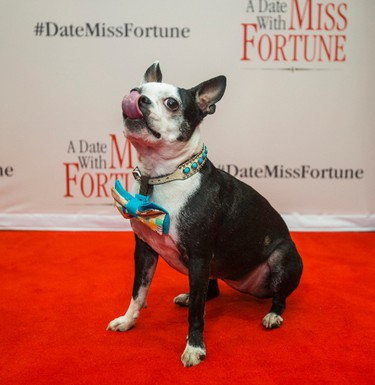 Bella, the Boston Terrier, at the red carpet for the Canadian romantic comedy A Date With Miss Fortune for the premiere at Cineplex Cinemas Yonge Dundas & VIP in Toronto, Ont.  on Thursday January 28, 2016. Ernest Doroszuk/Toronto Sun/Postmedia Network