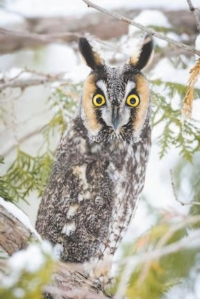 Owl sightings are always highlights for the annual Great Backyard Bird Count. This long-eared owl was seen in Komoka Provincial Park west of London in late January. (TIM ARTHUR/SPECIAL TO POSTMEDIA NEWS)