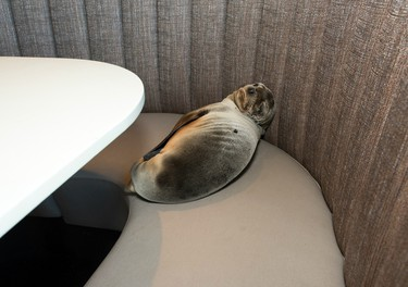 In a photo provided by SeaWorld, an 8-month-old female sea lion pup is shown where it was found sleeping in a booth of the Marine Room, an upscale restaurant in the La Jolla neighborhood of San Diego, Thursday, Feb. 4, 2016. Experts were called from nearby SeaWorld, who said the pup was severely underweight and dehydrated. The pup was taken to SeaWorld's Animal Rescue Center and experts are cautiously optimistic about her recovery. There's been a surge in sea lion mortality over the past year because, scientists say, the animals' food supply has been affected by higher-than-normal ocean temperatures linked to El Nino.(Mike Aguilera/SeaWorld via AP)