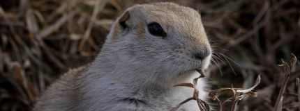An early-rising gopher - Richardson's ground squirrel