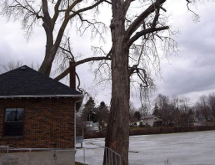 One of the trees next to Gibson House has been marked for removal some time between now and the summer. The adjacent tree -- in much better shape, but getting old -- may share the same fate. The stump(s) will remain to help protect the Lake Lisgar shoreline. (CHRIS ABBOTT/TILLSONBURG NEWS)