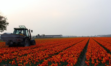 Dutch farmers will cut down the tulips before they finish flowering to make sure the nutrients go into  the bulbs. BRIAN QUINN PHOTO