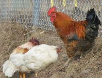 Authorities are attempting to locate the owner of four chickens who were located at the dead end of Lockhart Road west of Saunders Road on Monday after Barrie police received an anonymous tip.IAN MCINROY/BARRIE EXAMINER/POSTMEDIA