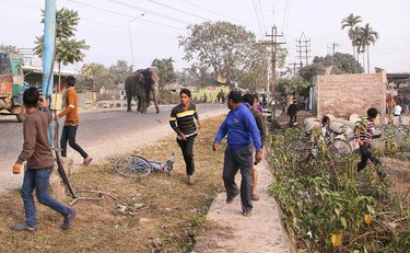 A wild elephant that strayed into the town moves through the streets as people run at Siliguri in West Bengal state, India, Wednesday, Feb. 10, 2016. The elephant had wandered from the Baikunthapur forest on Wednesday, crossing roads and a small river before entering the town. The panicked elephant ran amok, trampling parked cars and motorbikes before it was tranquilized. (AP Photo)