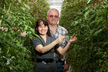 Husband and wife team, Carmen Perez and Bob Mitchell (pictured), run Suntech Greenhouses in Manotick. Recently they started using black lights to help grow their famous tomatoes, which have turned the sky bright purple at night, creating a bit of an attraction in the area.  (Julie Oliver / Postmedia)