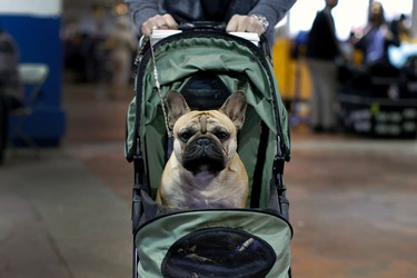 French bulldog Watson is wheeled to a ring for judging at the 2016 Westminster Kennel Club Dog Show in New York City, February 15, 2016. REUTERS/Mike Segar