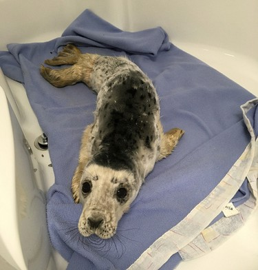 An injured grey seal pup, tentatively named Sammy, arrives at Hope for Wildlife in Seaforth, N.S., Thursday, Feb.11, 2016 after being hit by a vehicle. The facility's operator Hope Swinimer says the marine mammal was found on a road in Pictou County by an RCMP officer late Wednesday evening. THE CANADIAN PRESS/HO-Hope Swinimer