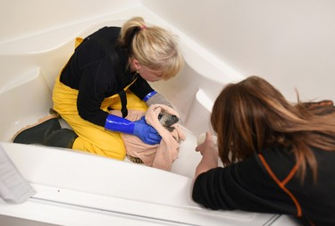 Hope for Wildlife's Lynn Roger, left, and Hope Swinimer bottle feed an injured grey seal pup, originally named Sammy, but now named Valentine, at the facility in Seaforth, N.S., on Friday, Feb.12, 2016. Valentine made it through her first night after the marine mammal was found on a road in Pictou County by an RCMP officer late Wednesday evening. THE CANADIAN PRESS/Darren Calabrese
