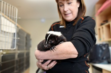 Hope Swinimer, facility operator of Hope for Wildlife, an animal rehabilitation facility in Seaforth, N.S., holds a skunk named Maxwell, who lost a leg. THE CANADIAN PRESS/Darren Calabrese