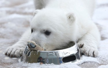 Juno the female polar bear cub, born on No.11, 2015 at the Toronto Zoo was unveiled yesterday - she was officially adopted as a member of the Canadian Armed Forces honouring those soldiers who fought on Juno Beach in 1944 D-Day invasion Thursday February 25, 2016. Jack Boland/Toronto Sun/Postmedia Network