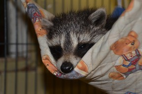 A baby raccoon is shown in this photo provided by Heaven's Wildlife Rescue, a volunteer-run site in Oil Springs that cares for orphaned and injured wildlife. Handout/Sarnia Observer/Postmedia Network