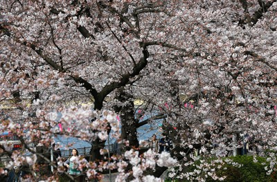 People walk under cherry blossoms at Asakusa district in Tokyo, Thursday, March 31, 2016. Asakusa is a popular tourist district in the capital. (AP Photo/Shizuo Kambayashi)