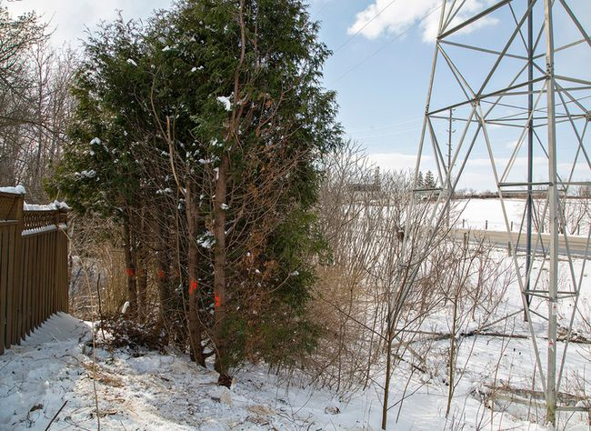 """A small number of cedars remained adjacent to Myles Kennedy's home on Memorial Drive in Brantford, Ontario on Monday April 4, 2016 but were removed Tuesday by a Hydro One crew. Hydro One has deemed the cedars """"incompatible brush"""" and removed them rather than having to return periodically to prune the height of the trees, which are adjacent to a power tower right of way. Brian Thompson/Brantford Expositor/Postmedia Network"""