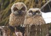A pair of great horned owl chicks (owlets) are rapidly maturing and fledging their primary flight feathers, meaning that their first hops are not far away. (MIKE HENSEN, The London Free Press)