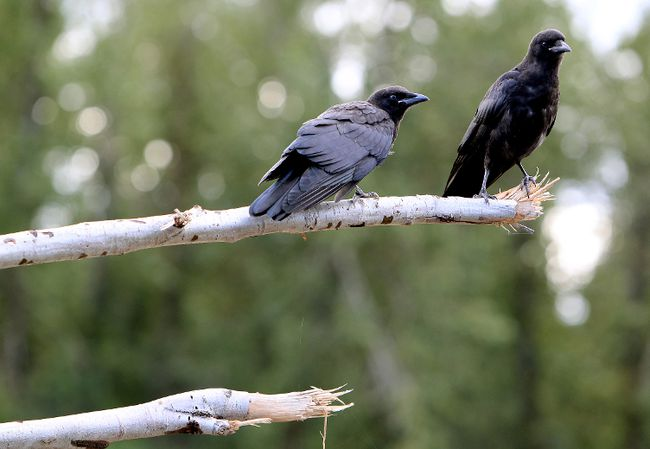 Two Langara College instructors have launched a map to document crow attacks. 