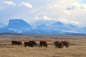 Cattle graze on the Blood Reserve south of Standoff Alberta with Chief Mountain in the distance on March 17, 2016. Gavin Young/Postmedia