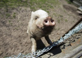 A pot-bellied pig. (Sun file photo)
