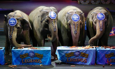 Ringling Bros. and Barnum & Bailey elephants eat during a brunch at Prudential Center, Thursday, March 10, 2016, in Newark, N.J. The brunch was held as part of a sendoff event for the elephants, which will be retiring from circus performances and be moved to the circus' Center for Elephant Conservation in Florida. (AP Photo/Julio Cortez)