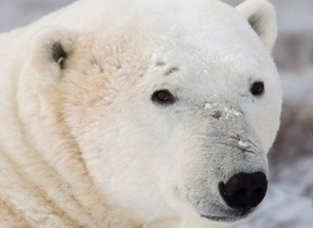 The U.S. Fish and Wildlife Service has decided to stop pushing for an international ban on the trade in polar bear parts. (THE CANADIAN PRESS/Jonathan Hayward)