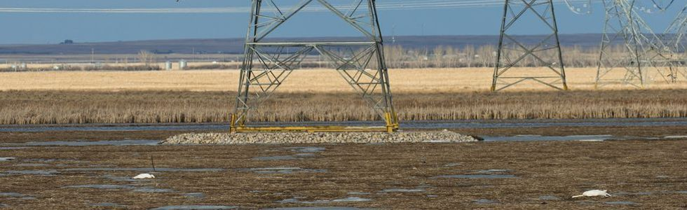 Swans found dead near transmission towers